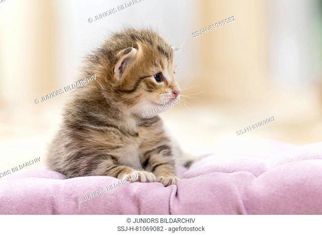 Norwegian Forest Cat. Tabby kitten (5 weeks old) on a blanket. Germany