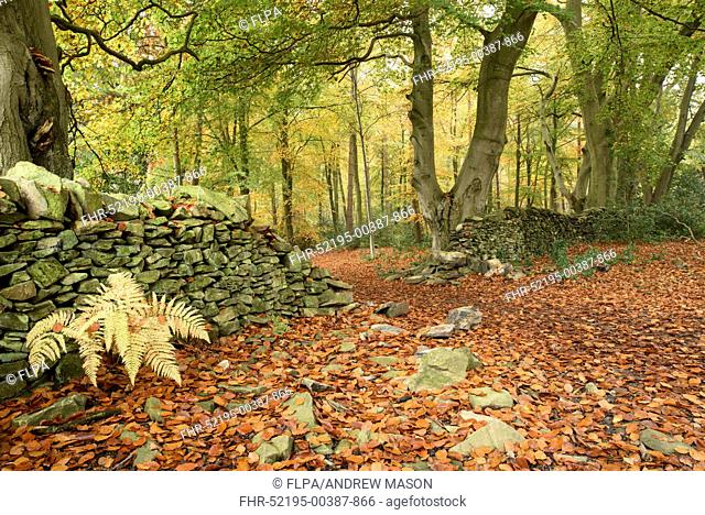 Common Beech (Fagus sylvatica) woodland habitat and drystone wall, with leaves in autumn colour, Beacon Hill, Charnwood Forest, Leicestershire, England