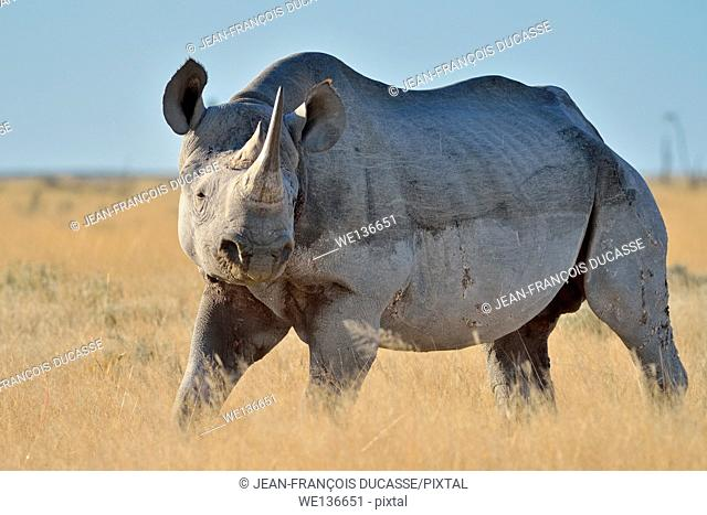 Black rhinoceros (Diceros bicornis), adult male, standing on dry grasses, Etosha National Park, Namibia, Africa