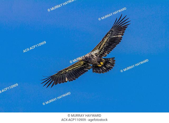 Golden Eagle (Aquila chrysaetos) Full wing span, as eagle soars, In search of food., Cranbrook, British, Columbia, Canada