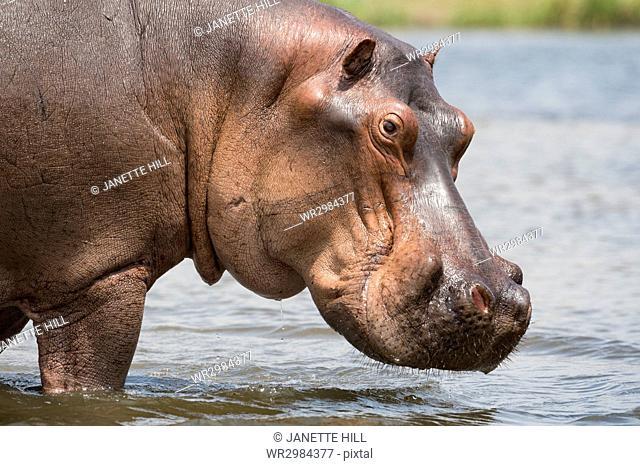 Hippopotamus (Hippopotamus amphibius), Uganda, Africa