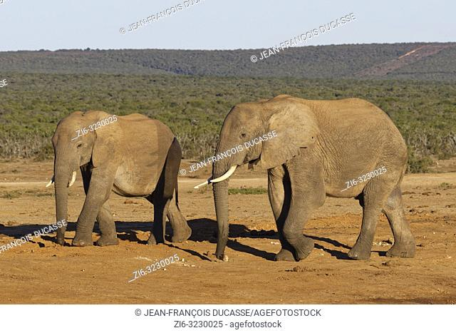 African bush elephants (Loxodonta africana), two males walking, near a waterhole, Addo Elephant National Park, Eastern Cape, South Africa, Africa
