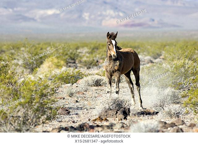 A young wild horse is testing its legs on range land in Nevada