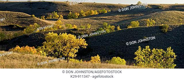 Autumn cottonwoods in rolling prairie landscape