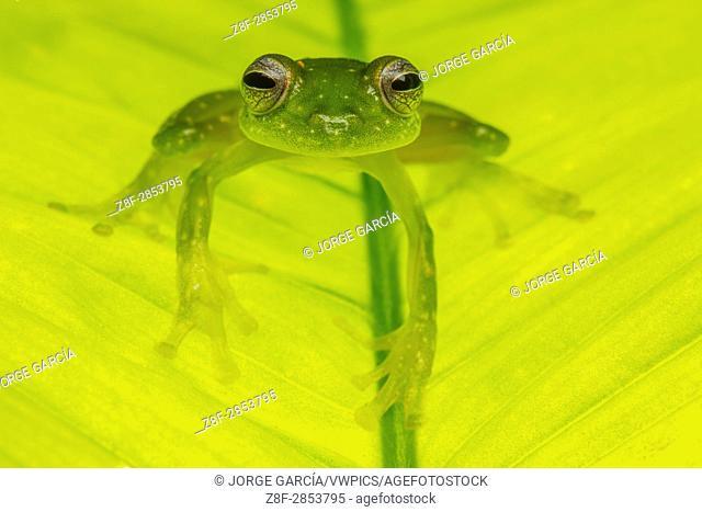 Glass frog (Centrolene, Centrolenidae) in Biogeographic Chocó, Buenaventura, Colombia