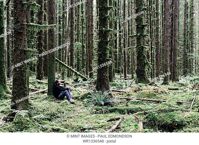 Man sitting among moss-covered Hemlock and Spruce trees in lush temperate rainforest in the Hoh rainforest in Washington USA