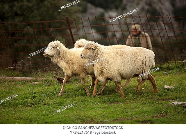 A shepherd walks in a meadow with a flock of sheep in Villaluenga del Rosario, in the Sierra de Grazalema National Park, Cadiz province, Andalusia, Spain