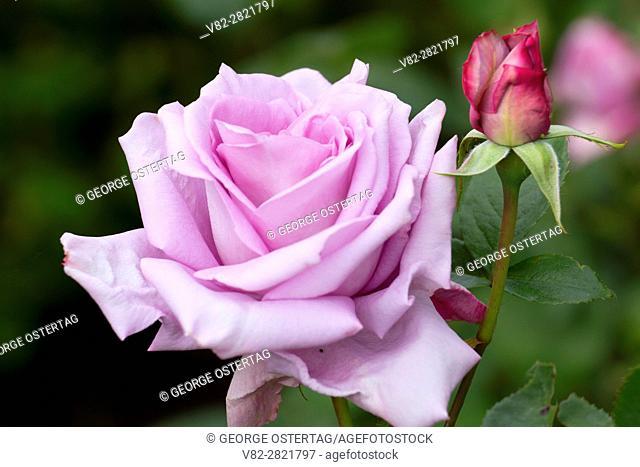 Blue Moon rose, Heirloom Roses, St Paul, Oregon