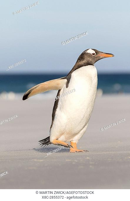 Gentoo Penguin (Pygoscelis papua), Falkland Islands. Marching at evening to the colony to feed the chicks. South America, Falkland Islands, January
