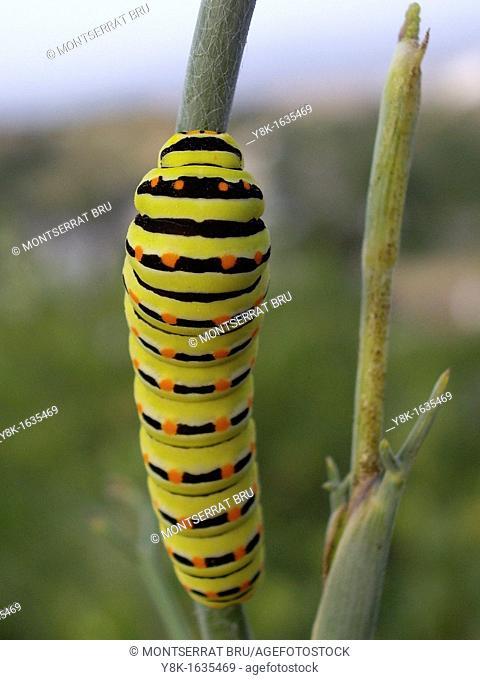 Caterpillar of Swallowtail butterfly climbing on a branch