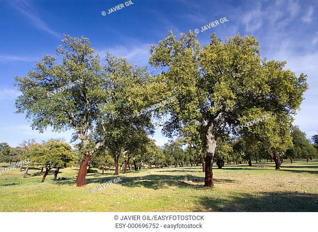 Cork oak in Monfrague, Caceres, Spain
