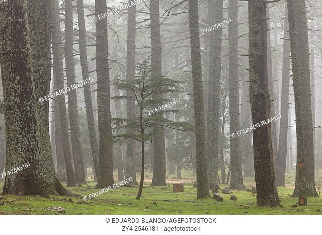 Cedar tree forest in the fog. Ifrane National Park. Middle Atlas. Fez. Morocco. North Africa. Africa