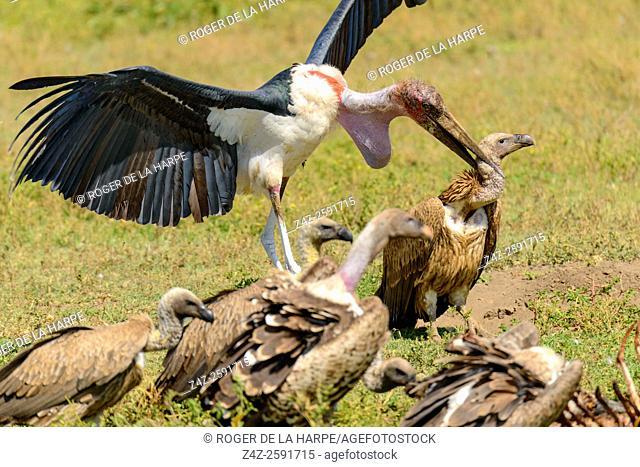 Marabou stork (Leptoptilos crumenifer) attacking an African white-backed vulture or white-backed vulture (Gyps africanus)