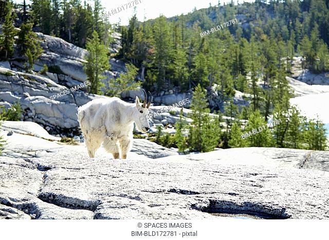 Mountain goat walking on rocky hillside