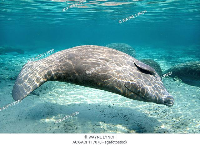 Florida manatee (Trichechus manatus latirostris), Crystal River, west-central Florida, U.S.A
