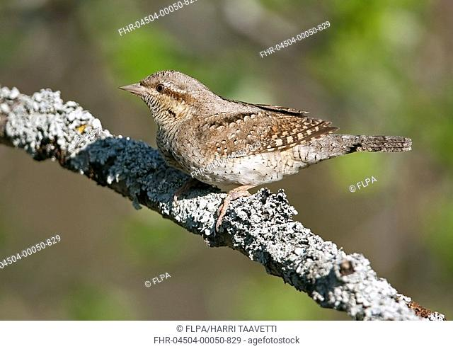 Eurasian Wryneck Jynx torquilla adult, perched on lichen covered branch, Finland, may
