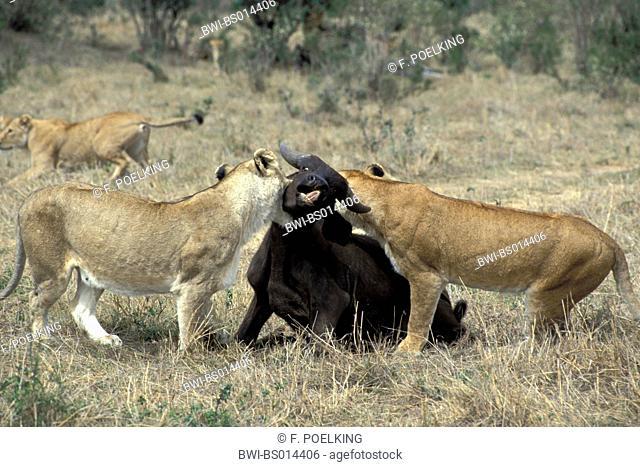 lion (Panthera leo), two lioness killing African buffalo, Kenya