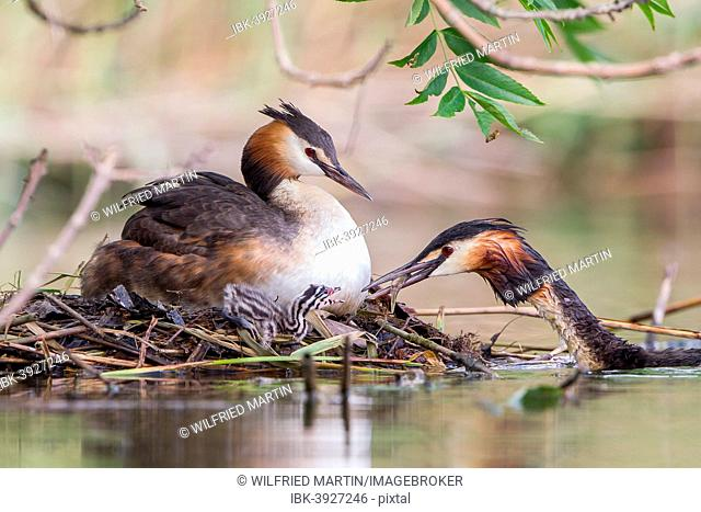 Great Crested Grebes (Podiceps cristatus) feeding chick at the nest, North Hesse, Hesse, Germany