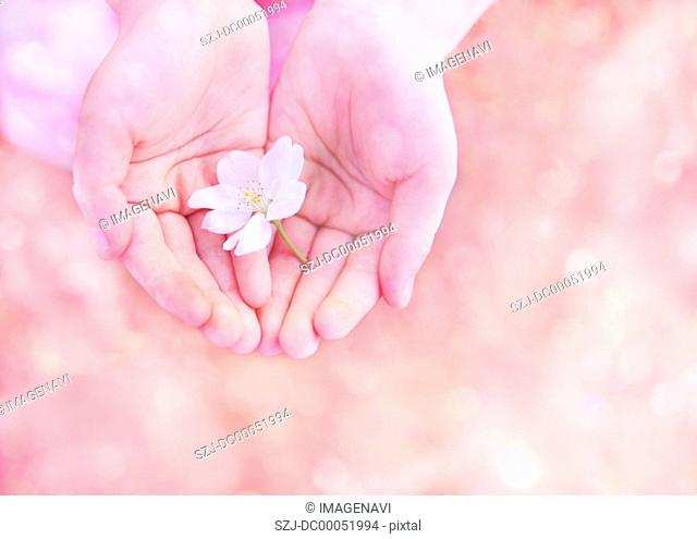 Child's hands holding a cherry blossom
