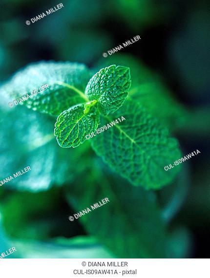 Fresh mint leaves, close-up