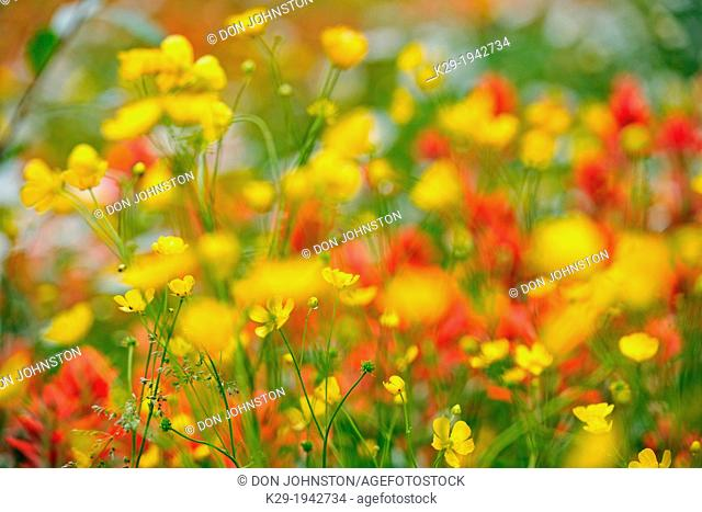 Canada, British Columbia, Rocky Mountains, View of flowered meadow
