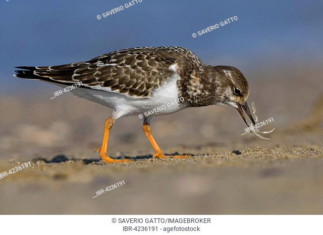 Ruddy Turnstone (Arenaria interpres), juvenile feeding on crab, Campania, Italy
