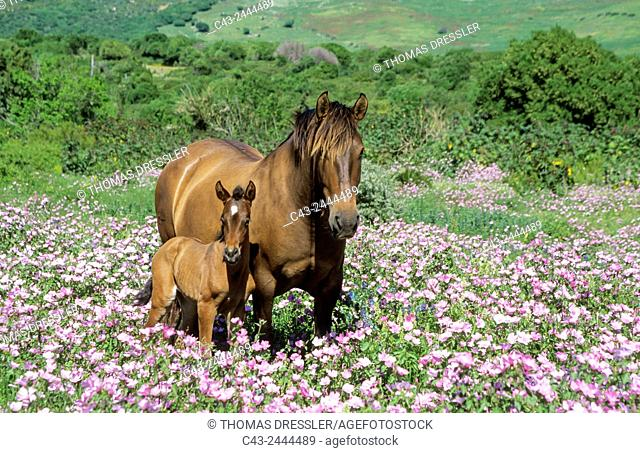 Mare with foal in a flowery spring meadow near Tarifa. Cadiz, Andalusia, Spain