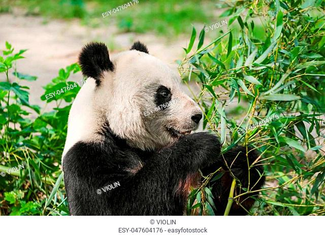Giant panda in park - animal background