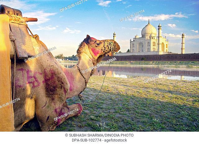 Camel banks river Yamuna flowing Taj Mahal Agra Ancient artist artistic beautiful blue sky clouds Color constructed 1631 A.D -1648 A
