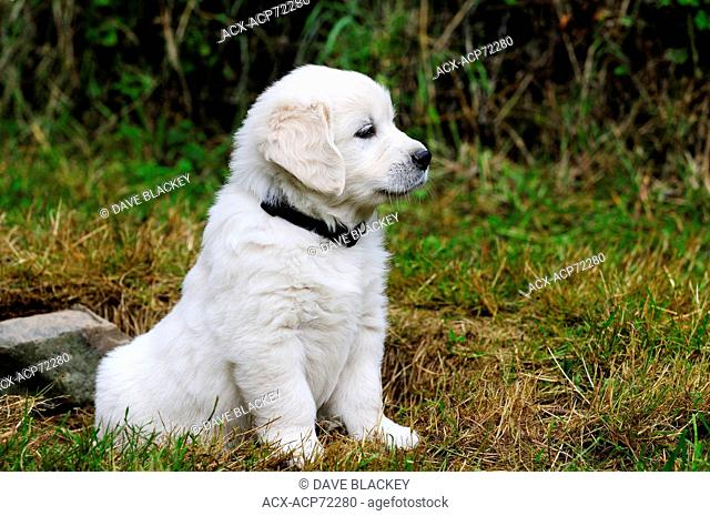Purebred English Golden Retriever puppy sitting on the lawn