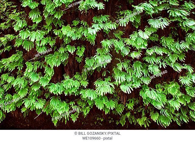 Fern Canyon - Prairie Creek Redwoods State Park / Redwood National Park - near Crescent City, California