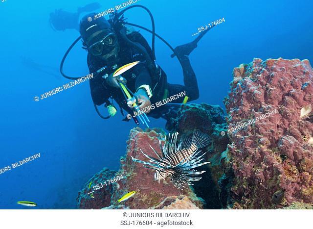 Invasive Lionfish (Pterois volitans) speared by diver, Caribbean Sea, Dominica