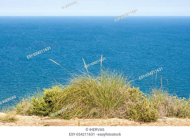 Alpha grass, Stipa tenacissima, growing in Sierra de Santa Pola, Santa Pola Mountains, Valencian Community, Alicante, Spain, by the Mediterranean Sea
