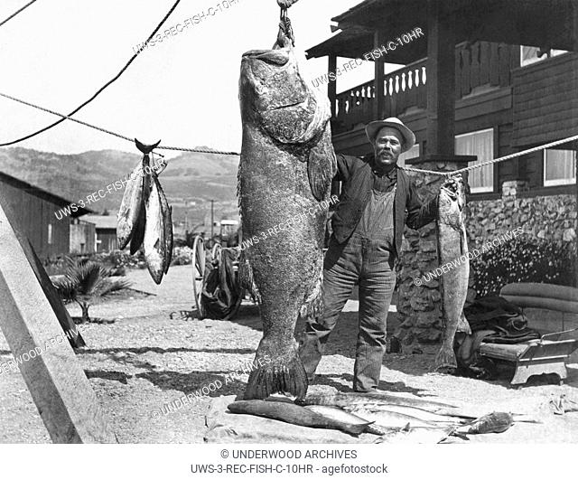 Pismo Beach, California: September, 1907.A man proudly stands with the 456 pound jewfish he has hanging in his yard along with several other species