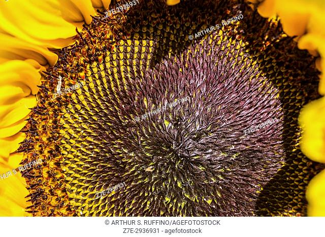 Macro detail of a sunflower (Helianthus annuus). Focus on the disc of the corolla