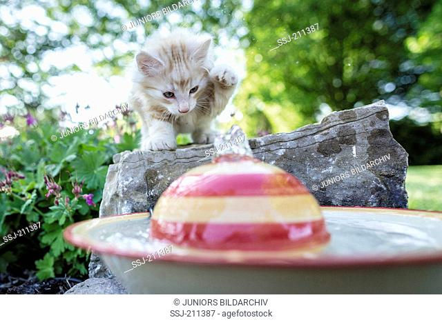 Norwegian Forest Cat. Kitten exploring a fountain in a garden. Germany. Restriction: Not for guidebooks for pet care until 9/2018