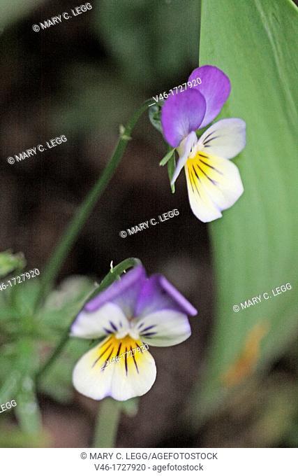 Field Pansy, Viola arvensis  Small bi-colored violet often nicknamed Johnny-jump-up