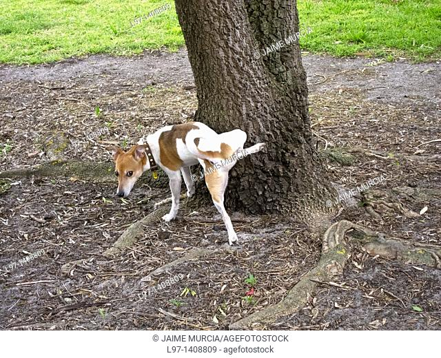 Small dog urinating on a tree. Melbourne, Australia