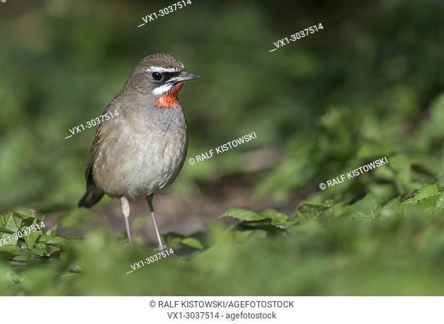 Siberian Rubythroat ( Luscinia calliope ), male bird, extremly rare winter guest in Western Europe, first record in the Netherlands, wildlife