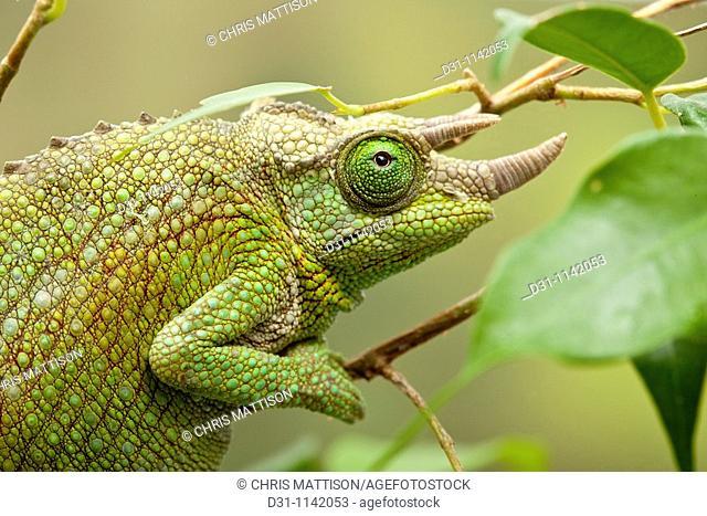 Jackson's chameleon, Chamaeleo jacksonii, female, East Africa