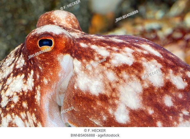 Curled octopus, lesser octopus, horned octopus (Eledone cirrhosa, Ozeana cirrosa), portrait