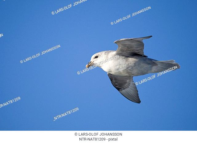 Flying Fulmar, Spitsbergen, Svalbard, Norway
