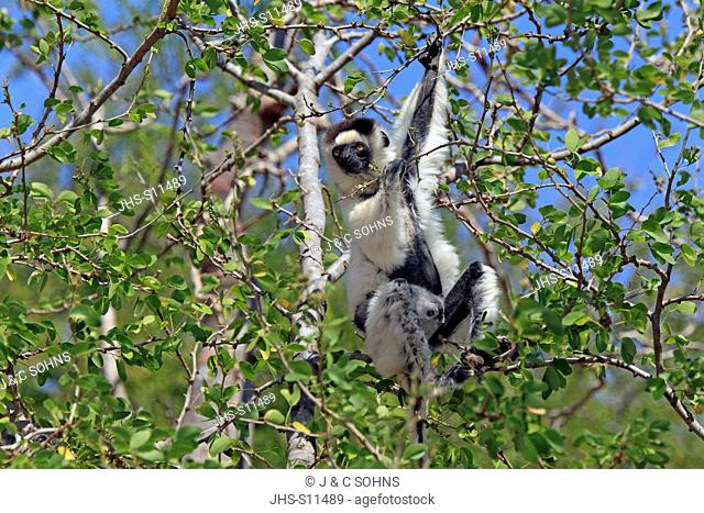 Verreaux`s Sifaka, Propithecus verreauxi, Berenty Reserve, Madagascar, Africa, adult on tree feeding