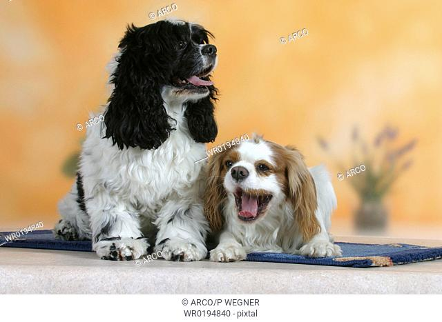 American, Cocker, Spaniel, and, Cavalier, King, Charles, Spaniel, Blenheim