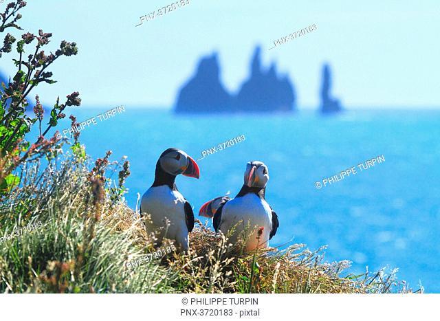Iceland, puffins