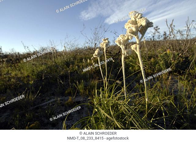 Wildflowers growing on a landscape, Hermanus, Western Cape Province, South Africa
