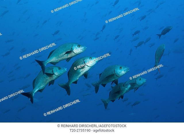 Shoal of Galapgos Grunt, Orthopristis forbesi, Arch, Darwin Island, Galapagos, Ecuador