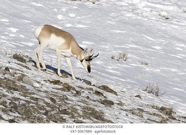 Pronghorn Antelope ( Antilocapra americana ) in winter, walking down a rocky hillside, seaching for food, Yellowstone NP, USA