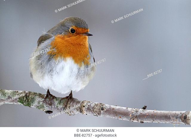 Robin on a branch in the winter