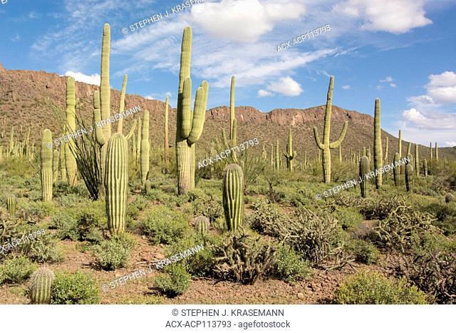 Desert habitat with Saguaro Cactus (Carnegiea gigantea), Saguaro National Park, Tucson, AZ, USA